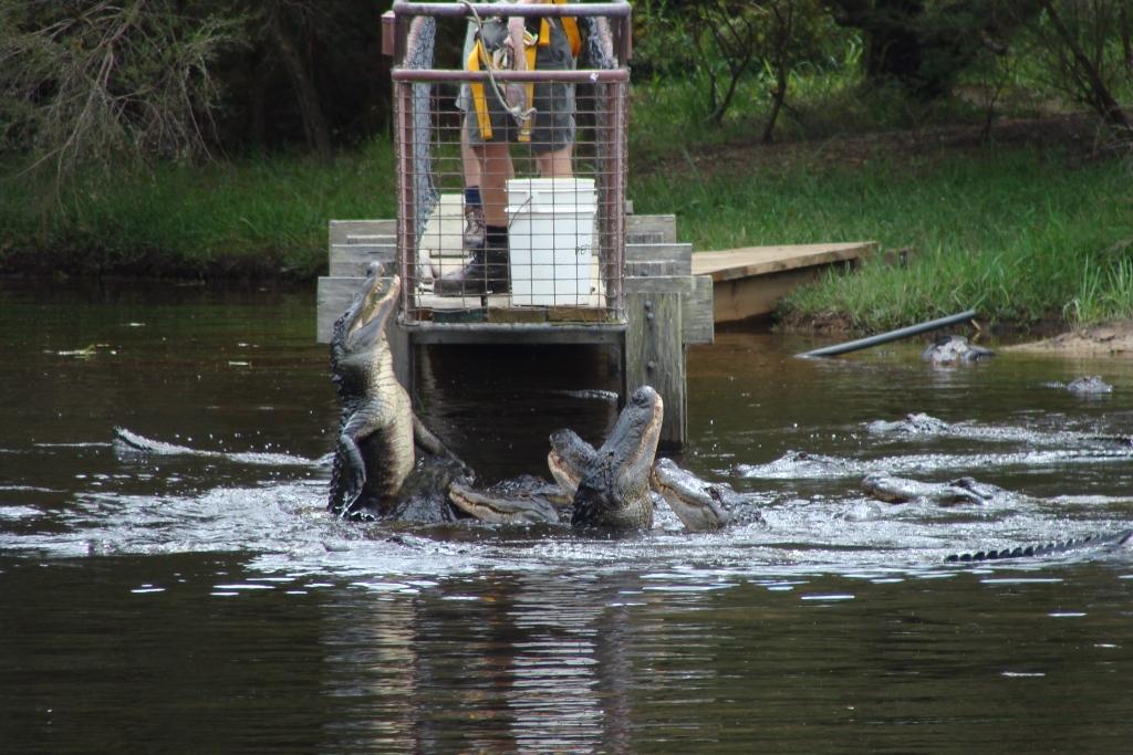 1203548642_alligator_feed.jpg